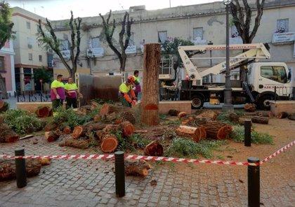 """Sevillasemueve pide al Ayuntamiento la suspensión de las talas """"extremas"""" y la reunión de la Mesa del Árbol"""