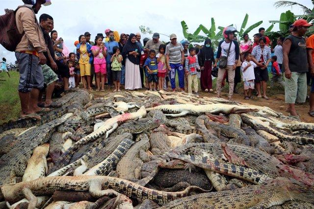 Residentes de Indonesia matan a casi 300 cocodrilos en Papúa Occidental