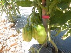 El Parc Natural del Montsant promou la recuperació de varietats agrícoles tradicionals (GENCAT)