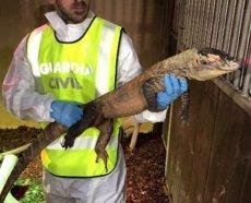 Intervingut per primera vegada a Europa un dragó de Komodo comprat il·legalment (GUARDIA CIVIL)