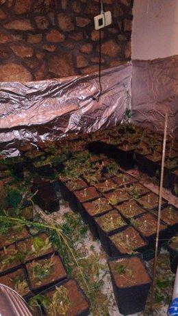 Desarticulado grupo marihuana en Talavera