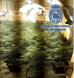Marihuana incautada indoor vivienda málaga