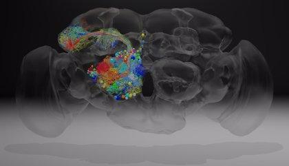 El cerebro de una mosca, en nanoescala con 21 millones de imágenes