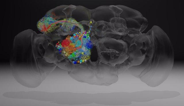 Actividad neuronal en el cerebroi de una mosca reproducida en el estudio