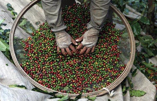 trabajador escoge granos de plantas de café durante la cosecha