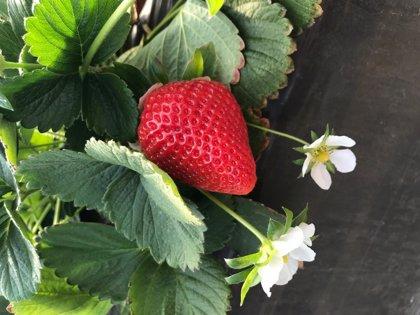 Una cooperativa de Moguer (Huelva) comercializa sus primeras fresas producidas en sus viveros de Ávila