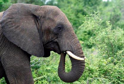 La compañía De Beers trasladará 200 elefantes a Mozambique desde una reserva en Sudáfrica