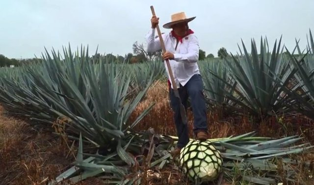 campo tequila