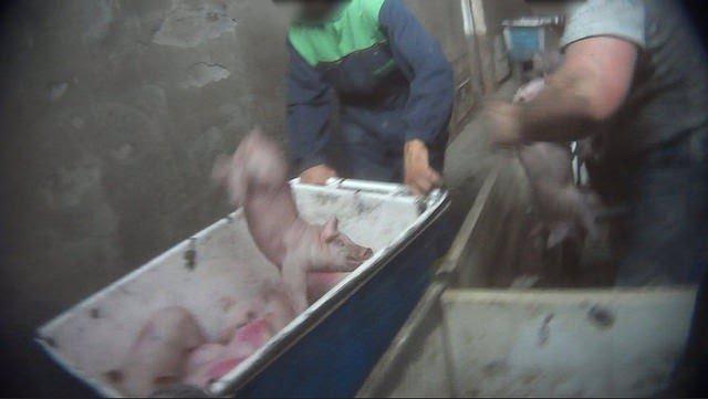 Cerdos maltratados en granjas