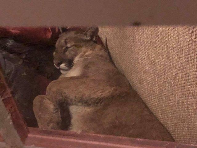 Foto del puma que se coló en la vivienda de Lauren Taylor