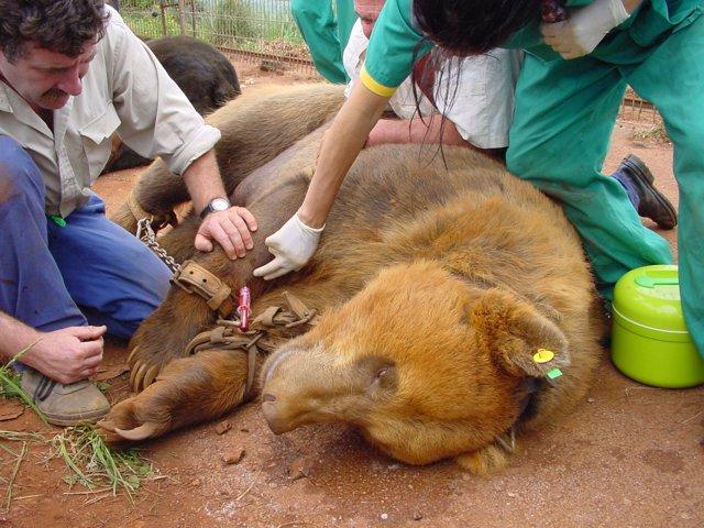 Un equipo medico atiende a un oso en el parque natural de Cabárceno