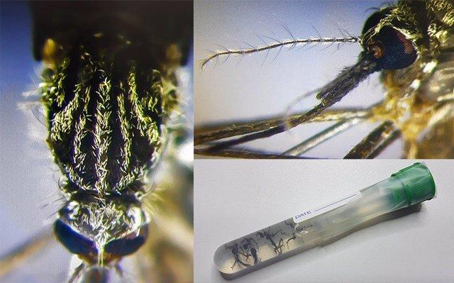 Mosquito Aedes-japonicus