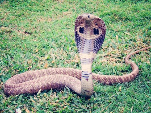 Cobra gigante africana
