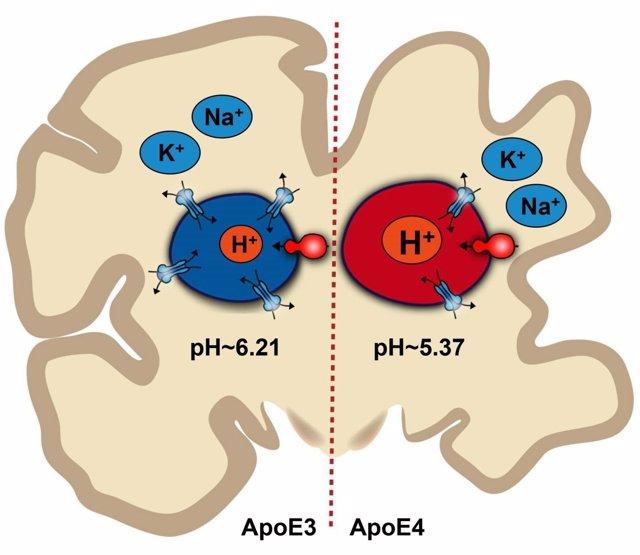 Ilustración de cómo el desequilibrio del pH en cerebro puede llevar a Alzheimer