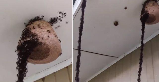 Hormigas legionarias atacando un avispero