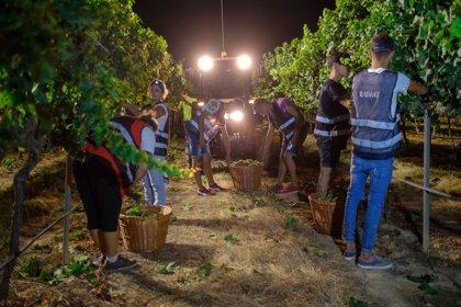 La bodega Raimat inicia la temporada de vendimia con su recolección ecológica