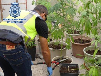 Detienen a dos jóvenes por tener una plantación de marihuana en un garaje de Lanzarote