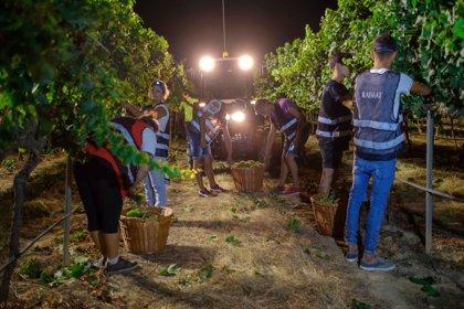 Raimat inicia la temporada de vendimia con su recolección ecológica