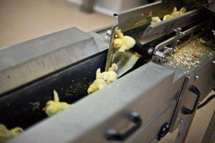 Unións Agrarias alerta de la muerte de medio millón de pollos en Galicia por la ola de calor