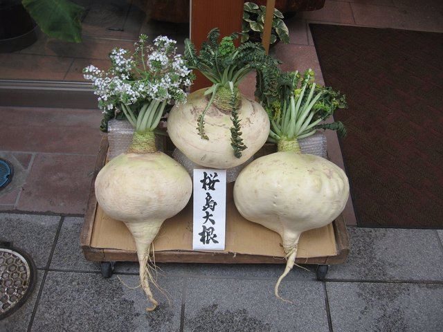 Sakurajima daikon, rábano gigante