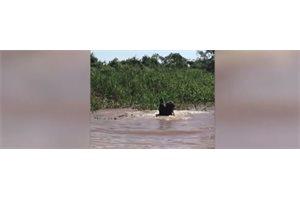 Un jaguar y un caimán protagonizan una increíble pelea a muerte en Brasil