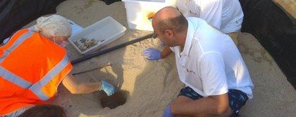 El nido de tortugas bobas de la playa de Mataró alcanza 98 nacimientos