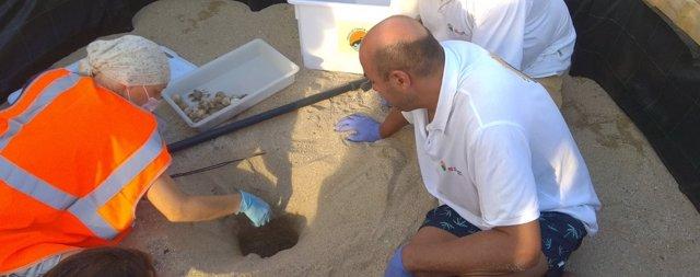 Abren el nido de tortugas bobas de Mataró (Barcelona)