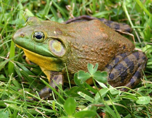 Ejemplar de rana toro americana, una especie invasora en el Delta del Ebro