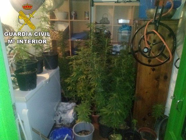 Plantas de Marihuana