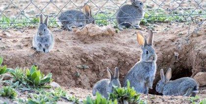 Este martes entra en vigor la nueva normativa de captura de conejos de monte vivos con hurón y redes en C-LM