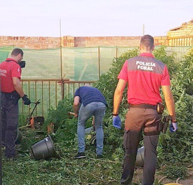 Parte de la plantación intervenida por la Policía Foral