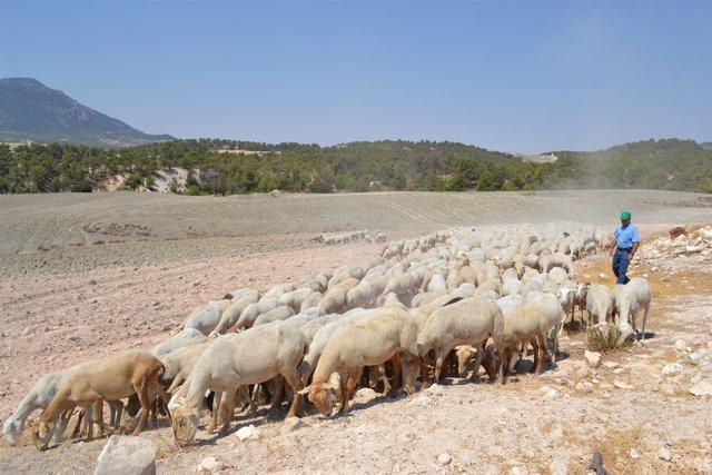 Un pastor con ovejas