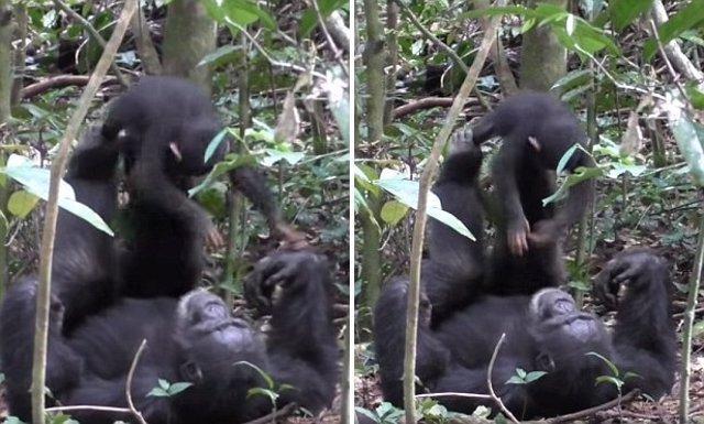 Tai Chimpanzee Project