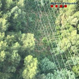 Marihuana en zonas de vegetación de Girona decomisada por los Mossos