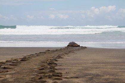 Hallan 122 tortugas marinas en México con heridas de anzuelos