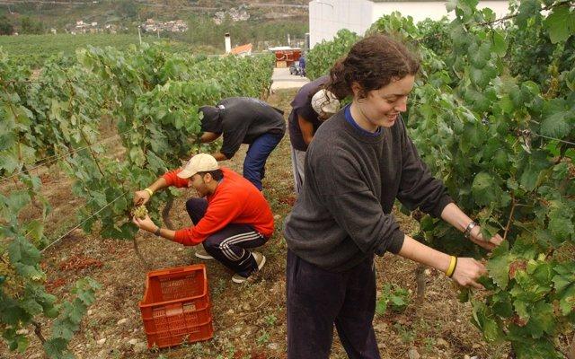 Las D.O. del vino de Ourense esperan recoger más cantidad de uva que en 2017 pese al mildio