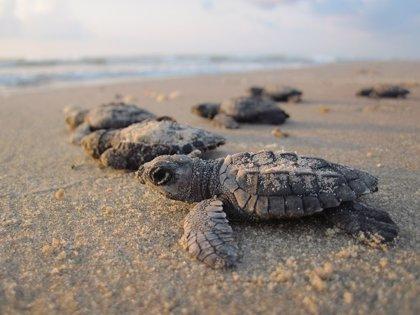 Estupor en México por la aparición de 122 tortugas muertas con signos de violencia