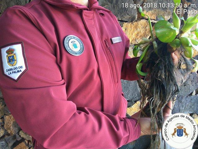 Incautan en La Palma más de 120 ejemplares de la planta jacinto de agua