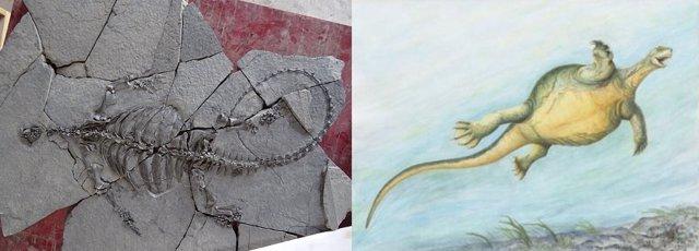 Fósil e ilustración de 'Eorhynchochelys sinensis'