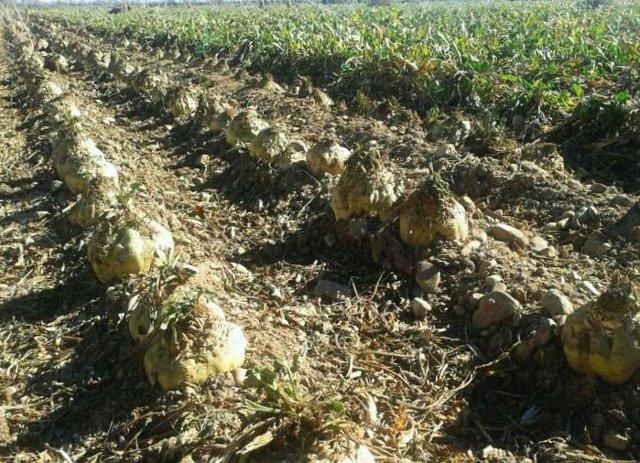 Cultivo de remolacha en la zona leonesa del Páramo.