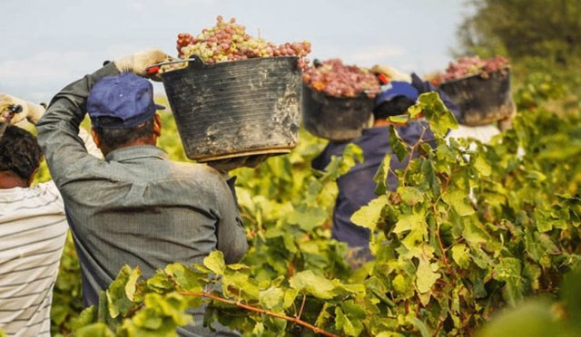 Vendimia, uva, vendimiadores, viña
