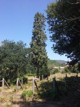 Ciprés incorporado al catálogo de árbores senlleiras de Galicia