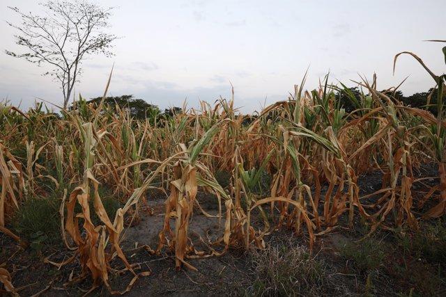 Campo de maíz afectado por la sequía en El Salvador