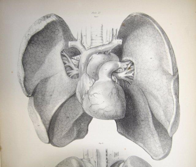 Lámina científica de los pulmones y el corazón