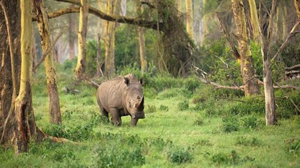 """""""Salvar especies con heces"""": el excremento de rinoceronte ayuda a prevenir la extinción de especies en peligro"""