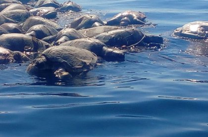 Hayan muertas al sur de México unas 300 tortugas marinas en peligro de extinción