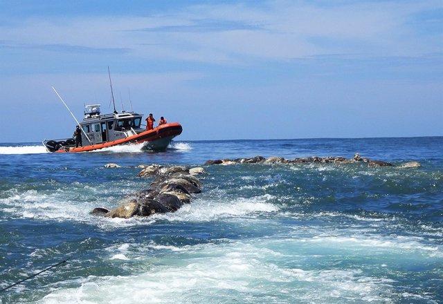 Un barco de la marina mexicana cerca de las alrededor de 300 tortugas muertas