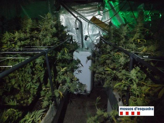 Plantación de marihuana hallada por los Mossos en un sótano de Rellinars