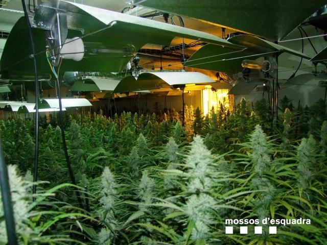 Cultivo de marihuana con 1.279 plantas en una casa de El Catllar (Tarragona)