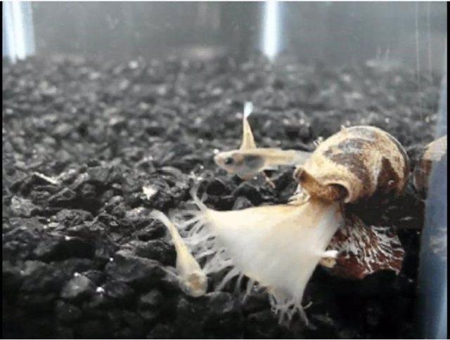 Caracol Conus tulipa